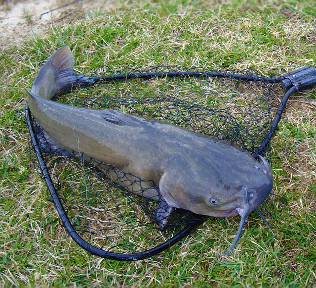 catfish-1581045_640